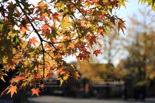 紅葉,屋外,京都,もみじ,樹木,東寺