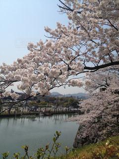 風景,春,桜,花びら,桃色,4月