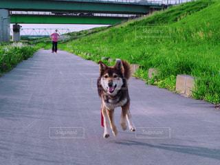 道路の真ん中を走っている犬の写真・画像素材[1186320]