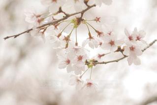 桜景色の写真・画像素材[1132742]
