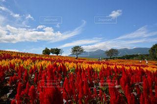 フィールドに赤い花の写真・画像素材[1150168]