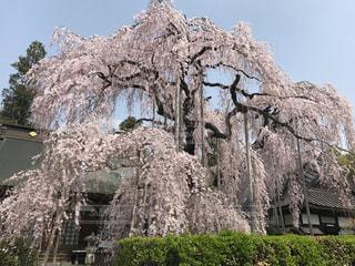 桜のカーテンの写真・画像素材[1122569]