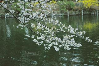 井の頭公園の桜2018の写真・画像素材[1127348]