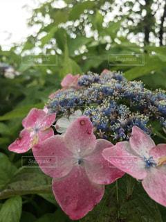 公園,花,雨,屋外,ピンク,水滴,景色,紫陽花,写真,長靴,梅雨,お散歩,雨音,かわいい花,お写んぽ,好きな花
