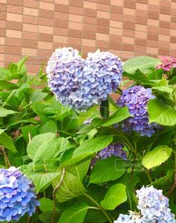 ハートの紫陽花の写真・画像素材[1114405]