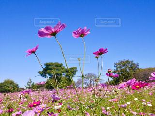 青空に向かって咲くコスモスの写真・画像素材[1123138]