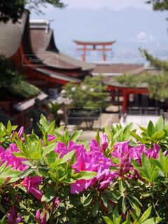 厳島神社の写真・画像素材[1195380]