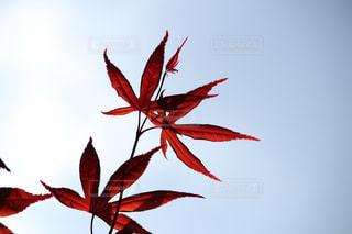 木の赤い花の写真・画像素材[1116600]