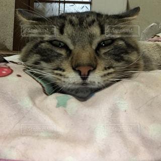 毛布の上に横になっている猫の写真・画像素材[1213481]