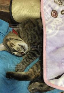 毛布の上に横になっている猫の写真・画像素材[1213483]