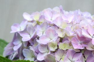 あじさい,紫陽花,梅雨,雨季