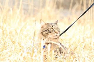 乾いた草のフィールドの上に座っている猫の写真・画像素材[1255262]
