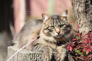 その口を開いてグレー猫の写真・画像素材[1255266]
