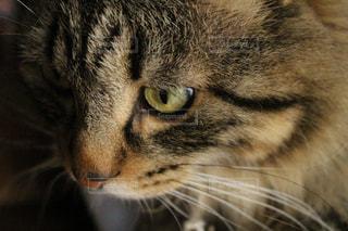 近くにカメラを見て猫のアップの写真・画像素材[1265008]