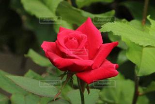 近くの花のアップの写真・画像素材[1368129]