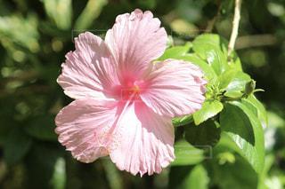植物にピンクの花の写真・画像素材[1368135]