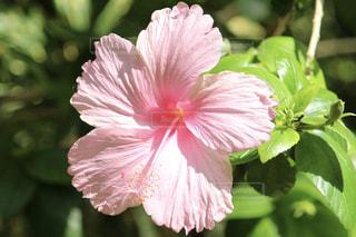 植物にピンクの花の写真・画像素材[1801289]