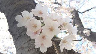 自然,公園,花,春,桜,屋外,花見,お花見,千葉県,さくら