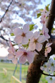ピンクの花の木の写真・画像素材[1831996]