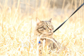 乾いた草原の上に座っている猫の写真・画像素材[2293044]