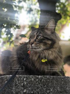 猫,動物,ペット,人物,mix,雑種,ネコ,洋猫