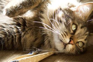 猫,動物,ねこ,ペット,人物,mix,雑種,キジトラ,ネコ,洋猫
