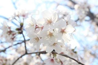 花,春,桜,木,花見,お花見,イベント,さくら