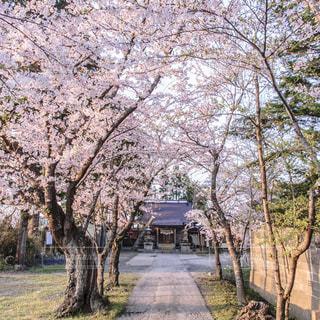 春,桜,サクラ,宮城県,参道,美里町