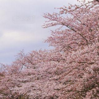 春,桜,サクラ,宮城県,千本桜,登山道,大崎市