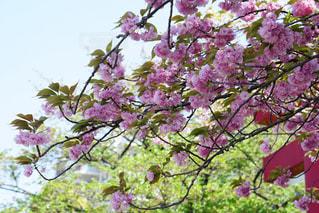 花,春,東京,ピンク,鳥居,樹木,新緑,亀戸天神,Spring