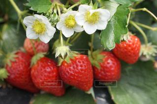 春,赤,いちご,フルーツ,果物,新鮮,strawberry