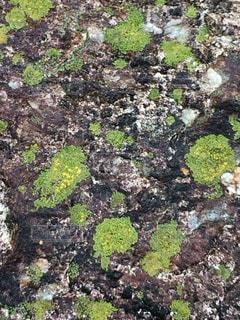岩の上の水玉苔の写真・画像素材[1120088]