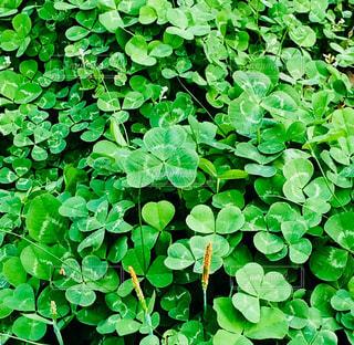 緑,葉,ハート,三つ葉,クローバー,草木