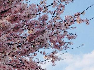 風景,春,桜,青空,樹木