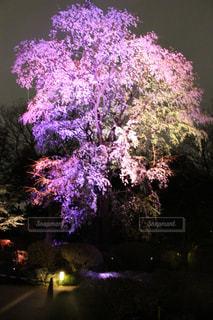 桜,夜,夜景,屋外,しだれ桜,樹木,ライトアップ,六義園