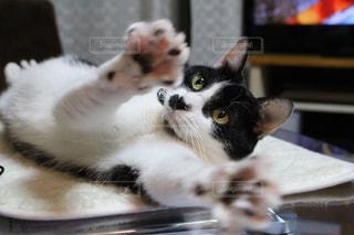 ノート パソコンのキーボードの上に横たわる猫の写真・画像素材[1161291]