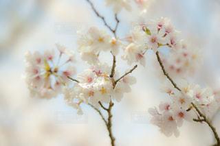 空,花,桜,青空,景色,鮮やか,樹木,景観,草木