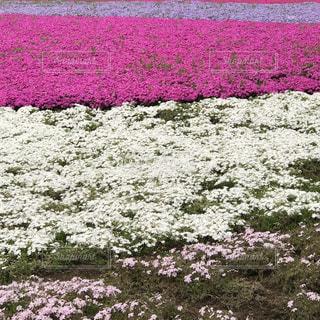 花,紫,芝桜,flower,秩父,羊山公園