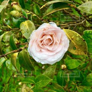 緑の葉とバラの写真・画像素材[1069161]