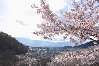 桜,長野県,高遠城址公園,花絶景