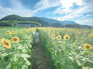 ひまわり畑と少女の写真・画像素材[3520379]
