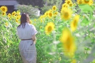 ひまわり畑の少女の写真・画像素材[3521946]