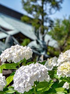 公園,緑,紫陽花,梅雨,鎌倉