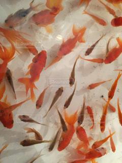 金魚すくいの写真・画像素材[1070864]