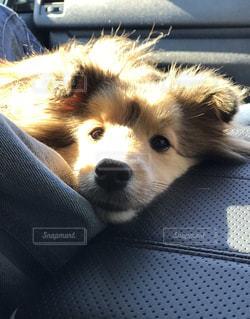 犬,かわいい,車中,シェルティ
