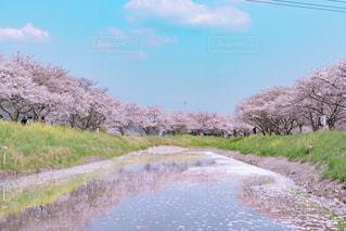草場川の桜並木の写真・画像素材[1123319]