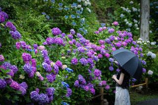 花,雨,屋外,鮮やか,紫陽花,人物,人,旅行,梅雨,景観