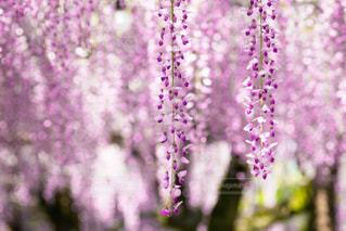 花,屋外,鮮やか,藤,景観