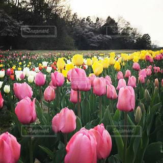 花,屋外,ピンク,緑,白,チューリップ,草木,きいろ