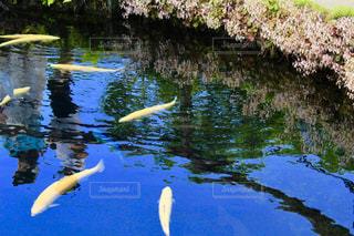 鯉と親子の写真・画像素材[2260340]